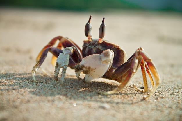 Close-up shot van een fiddler krab op het strand