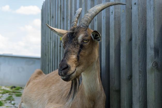 Close-up shot van een geit