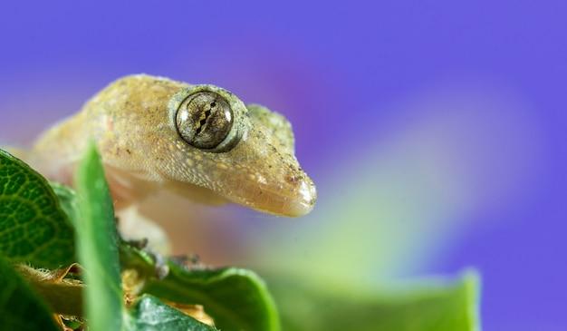 Close-up shot van een gekko op een paarse achtergrond