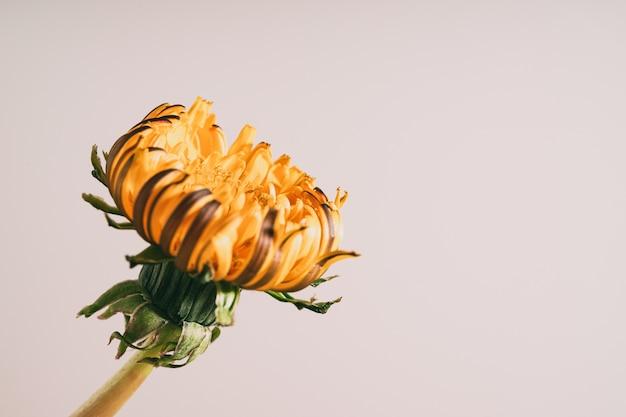 Close-up shot van een gele bloem op een witte achtergrond