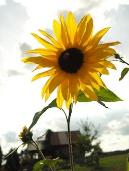 Close-up shot van een gele zonnebloem met een wazig bewolkte hemel op de achtergrond