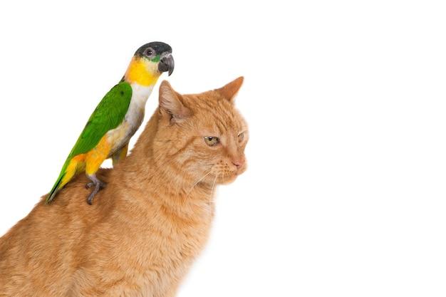 Close-up shot van een gember kat met een papegaai op zijn rug geïsoleerd