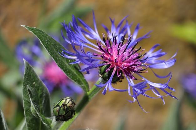 Close-up shot van een geweldige paarse saffloer