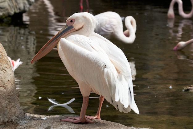 Close-up shot van een gewone pelikaan in een dierentuin