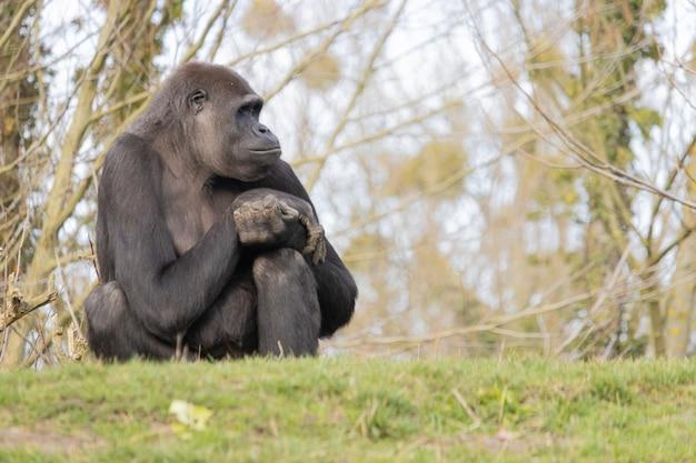 Close-up shot van een gorilla die comfortabel op een heuvel zit en dromerig ver weg kijkt