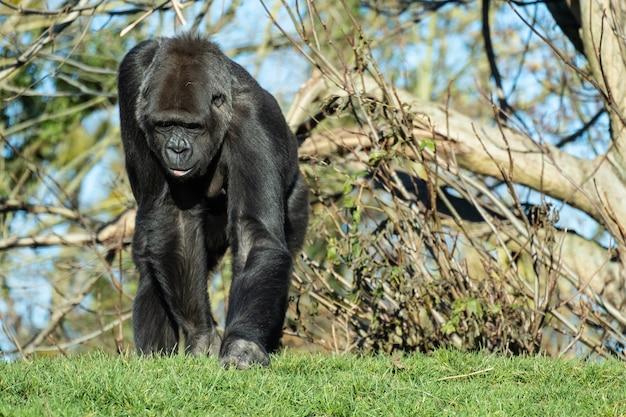 Close-up shot van een gorilla die op het gras in de bergen loopt