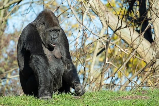Close-up shot van een gorilla zittend in het gras onder zonlicht