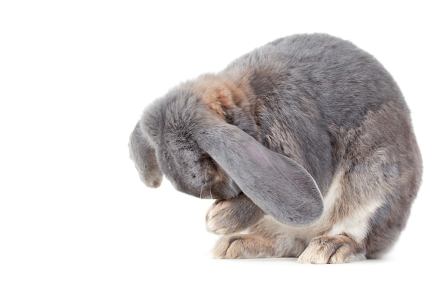Close-up shot van een grijs konijn