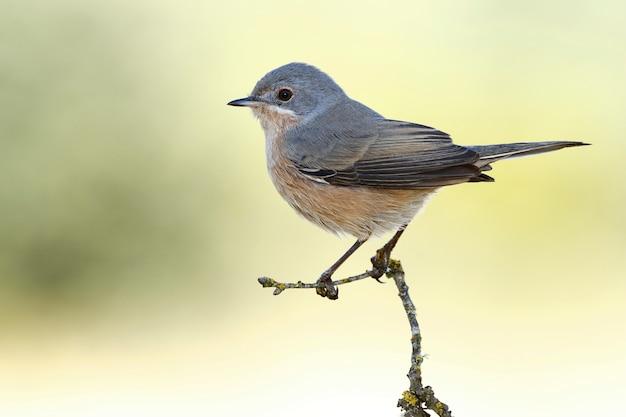 Close-up shot van een grijze catbird zat op een boomtak