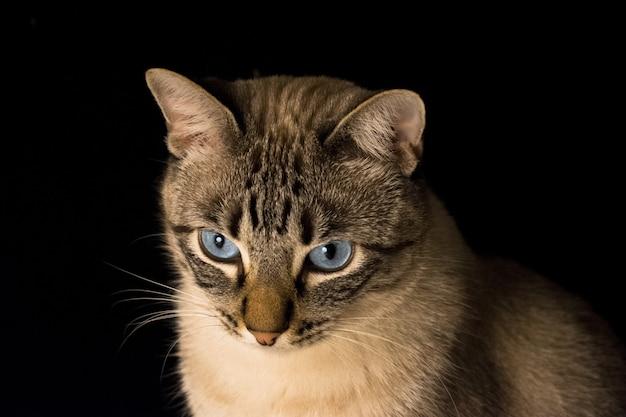 Close-up shot van een grijze kat met blauwe ogen op een zwarte achtergrond