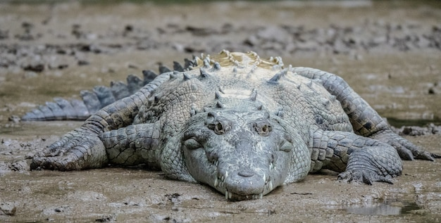 Close-up shot van een grijze krokodil liggend op modder overdag