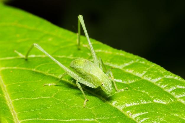 Close-up shot van een groen gras hopper op een blad