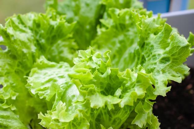 Close-up shot van een groene sla in de pot