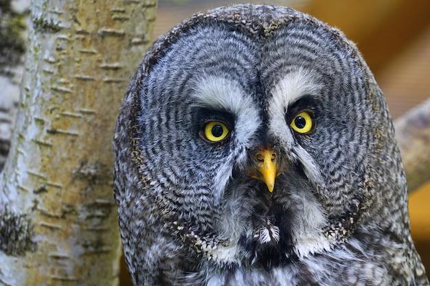 Close-up shot van een grote grijze uil met een wazige boom