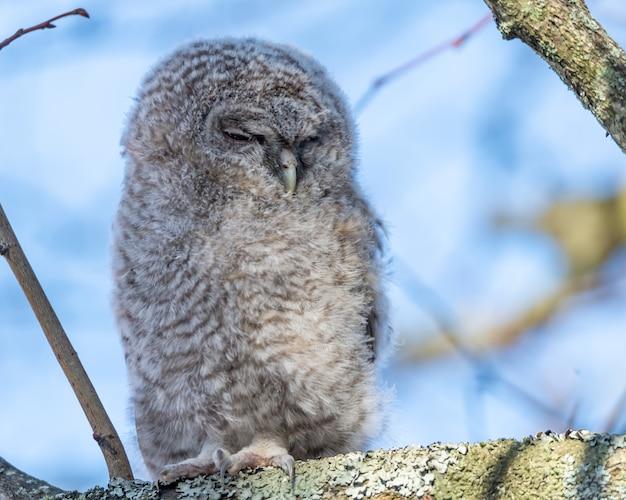Close-up shot van een grote grijze uil met gesloten ogen zat op een boomtak