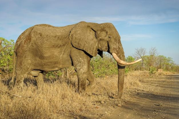 Close-up shot van een grote olifant in de safari onder een blauwe hemel