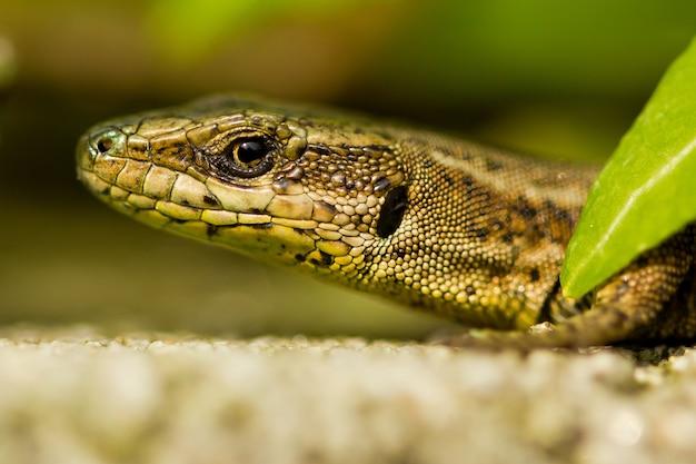 Close-up shot van een hagedis op de rots