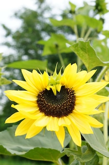 Close-up shot van een heldere zonnebloem in een veld met een onscherpe achtergrond