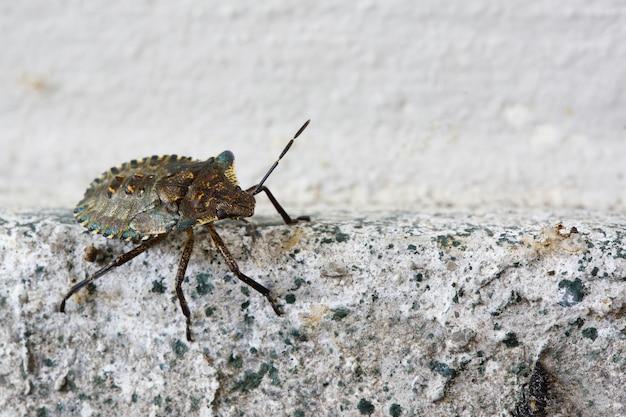 Close-up shot van een heteroptera op een muur