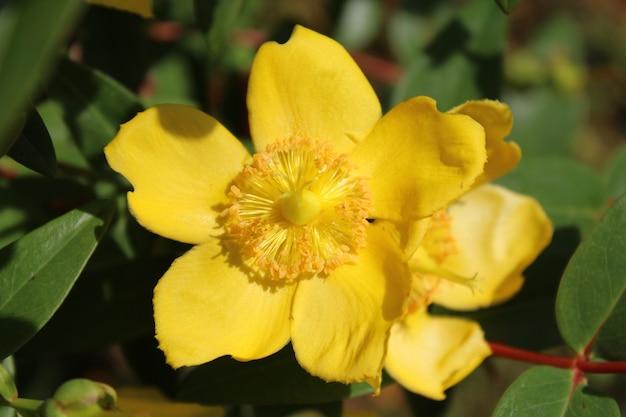 Close-up shot van een hypericum bloem met een onscherpe achtergrond