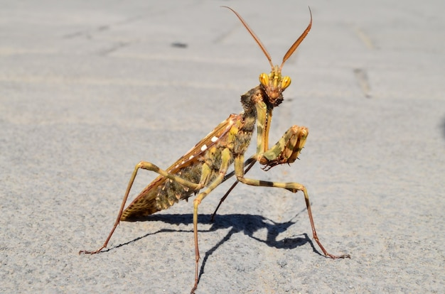 Close-up shot van een insect mantis religiosa