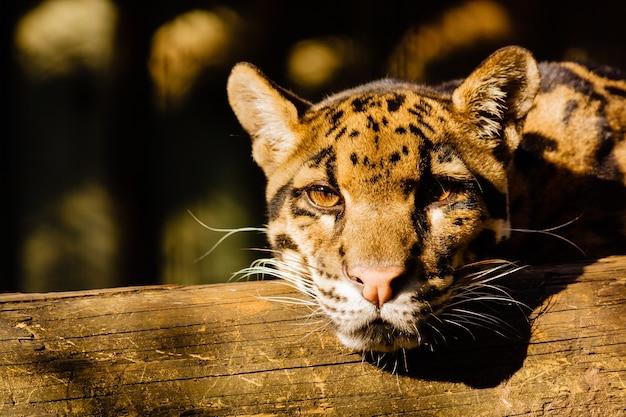 Close-up shot van een jonge tijger rustend op een stuk hout