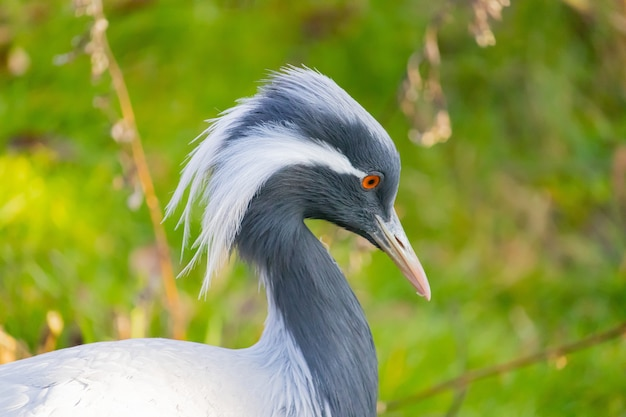 Close-up shot van een jufferkraanvogel met lange witte veren die uit de hoek van zijn ogen hangen