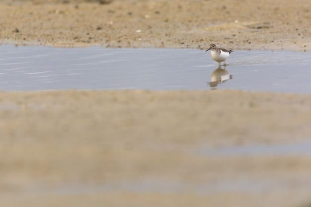 Close-up shot van een kleine bruine vogel die in een water loopt