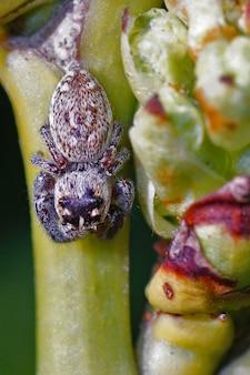 Close-up shot van een kleine springende spin, macaroeris nidicolens, zonnebadend op een takje