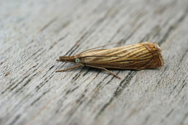 Close-up shot van een kleine tuingrasfineermot op een houten oppervlak