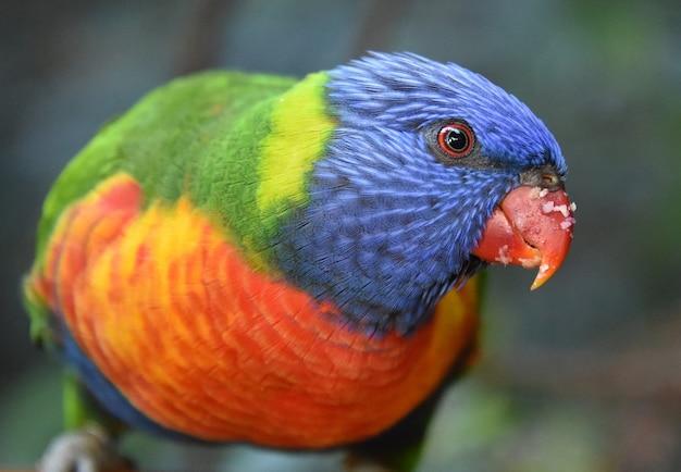 Close-up shot van een kleurrijke loriini op een onscherpe achtergrond