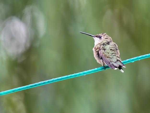 Close-up shot van een kolibrie op een draad
