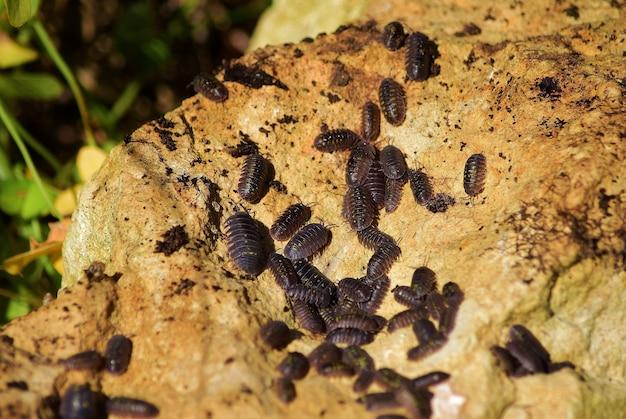Close-up shot van een kolonie pissebedden op een rots op het maltese platteland
