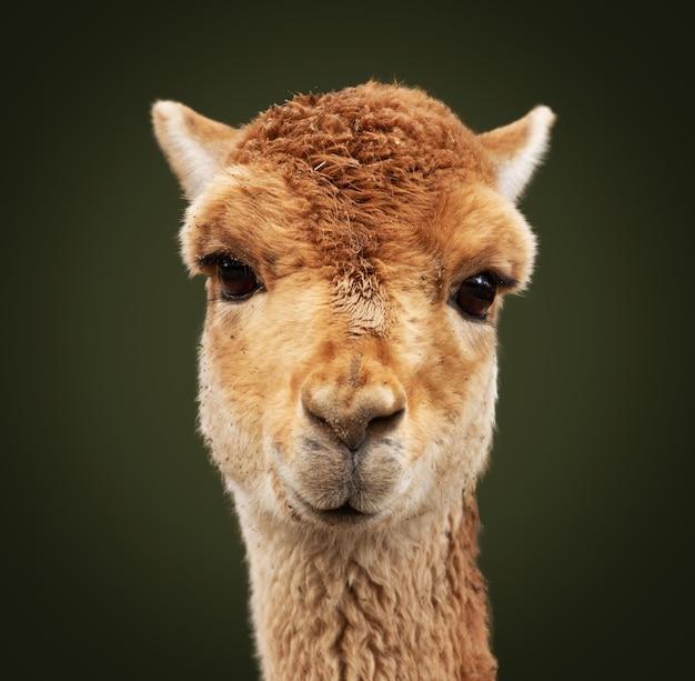 Close-up shot van een lama kijken naar de camera
