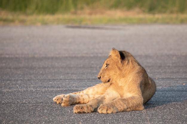 Close-up shot van een leeuw zittend op een asfalt en opzij kijkend