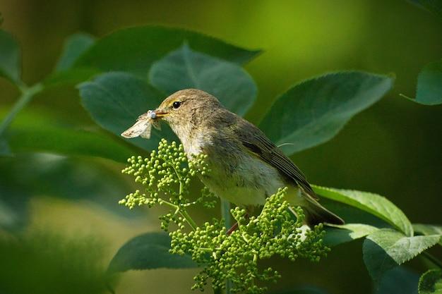 Close-up shot van een lichtgroene spotlijster die nectar eet op een plant in een bos