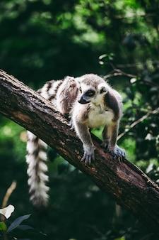 Close-up shot van een maki op een boom
