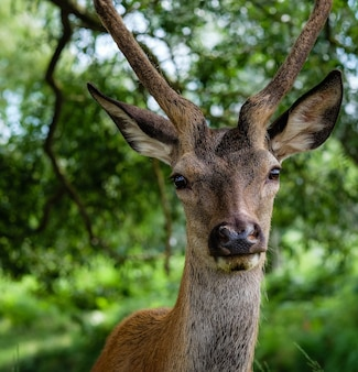 Close-up shot van een mannelijke eland achter de bomen