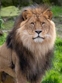 Close-up shot van een mannelijke leeuw in de jungle overdag
