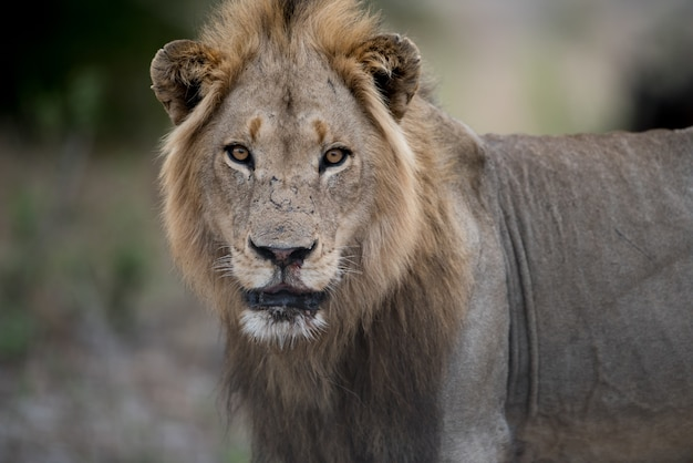 Close-up shot van een mannelijke leeuw met een wazig