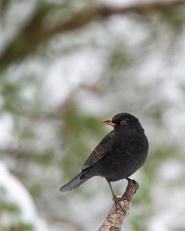 Close-up shot van een merel op de boomtak
