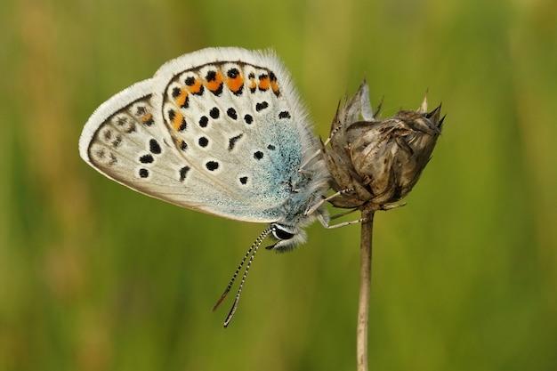 Close-up shot van een met zilver bezaaide blauwe vlinder, plebejus argus op een plant