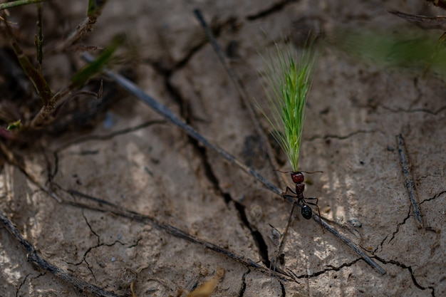 Close-up shot van een mier die tarwegras draagt op de gebarsten grond