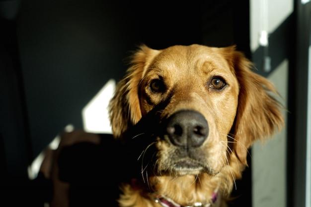 Close-up shot van een mooie binnenlandse golden retriever in een donkere kamer
