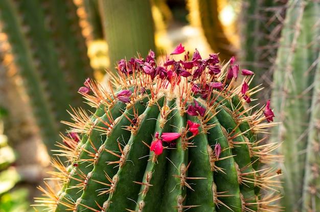 Close-up shot van een mooie cactus met roze bloemen