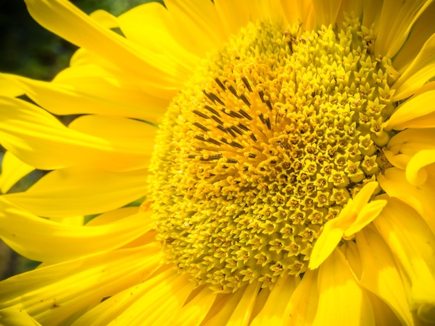 Close-up shot van een mooie gele zonnebloem - ideaal voor een natuurlijk behang