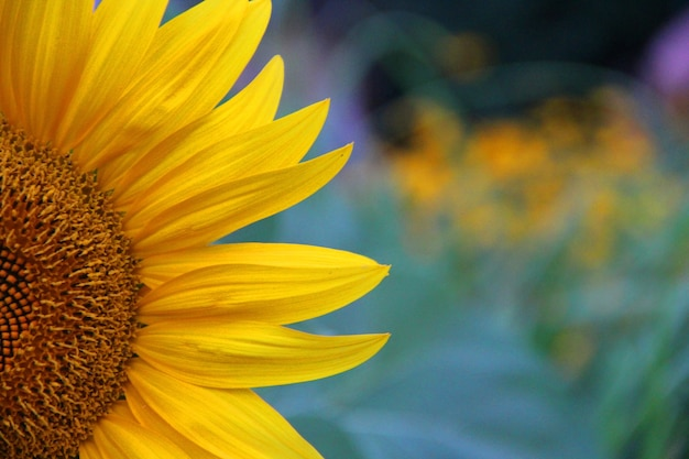 Close-up shot van een mooie gele zonnebloem op een onscherpe achtergrond