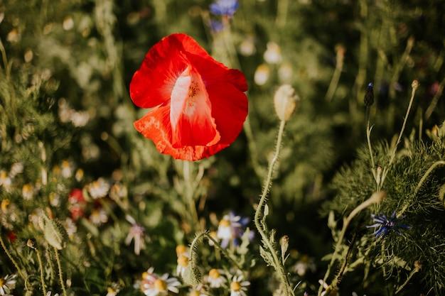 Close-up shot van een mooie rode papaver in een veld in het daglicht