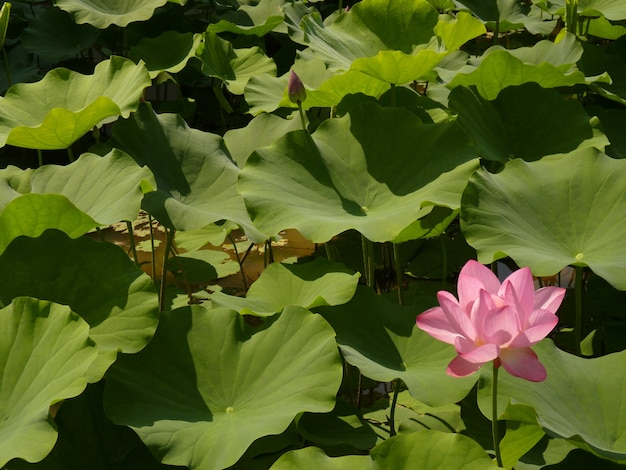 Close-up shot van een mooie roze lotus omringd door bladeren