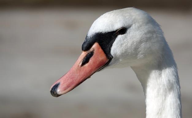 Close-up shot van een mooie witte zwaan op een wazig tafereel
